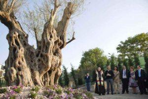 ulivo millenario San Marino